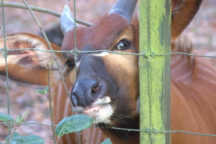 alt=<bongo deer Dublin zoo>